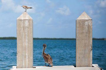 Fort DeSoto Pelicans